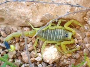 1200px-Scorpion_Deathstalker_ST_07